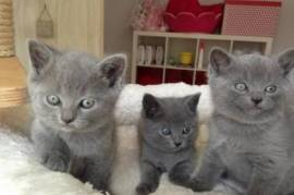 Chatons chartreux disponibles, Montreal