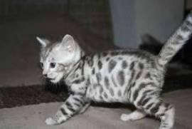 A donner chaton tigré bengal urgemment, Votre ville