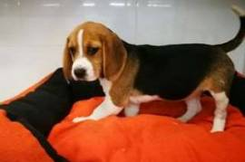 Chiot beagle cherche un nouveau maitre, Votre ville