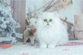 2 beaux chatons persan à donner, Votre ville