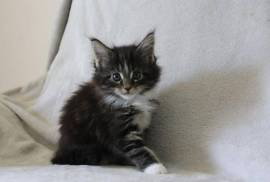 Adorable Chaton Maine Coon Femelle A Donner, H1Y 1W5