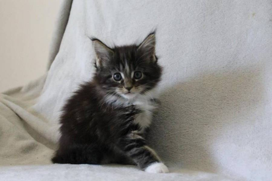 Adorable Chaton Maine Coon Femelle A Donner H1y 1w5