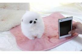Chiot Spitz Nain Pomeranian De 3 Mois A Donner Montreal