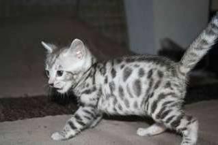 A Donner Chaton Tigre Bengal Urgemment Votre Ville