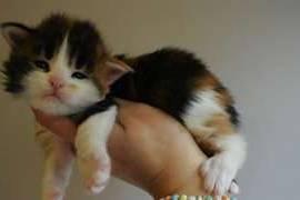 chatons maine coon à donner contre bons soins , Votre ville