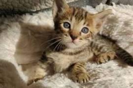 A donner, magnifiques chatons savannah , Votre ville