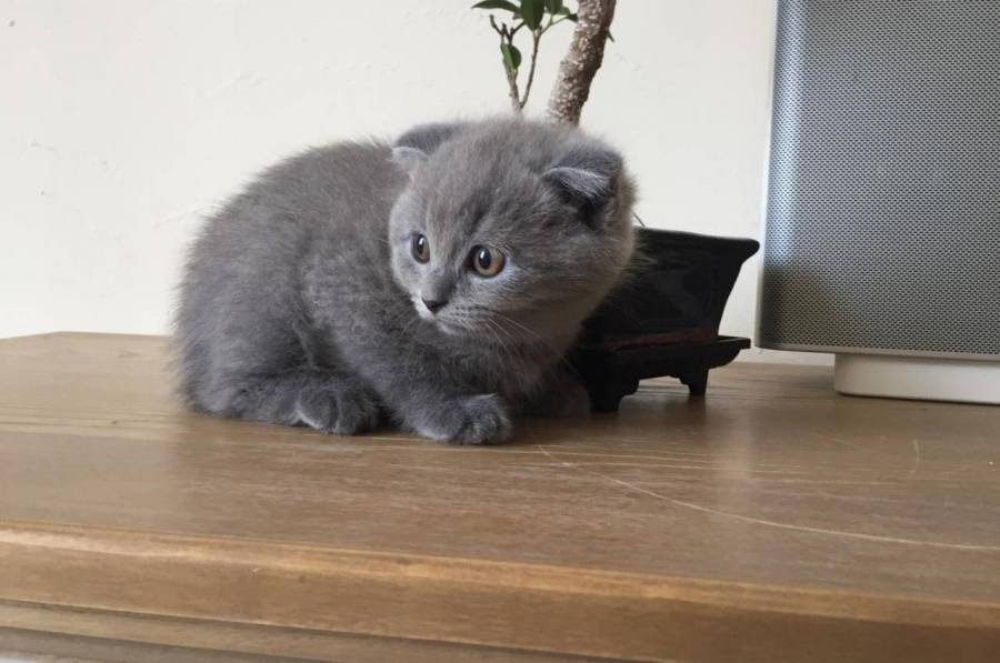 Superbes Chaton A Donner Chartreux Male Et Fem Montreal
