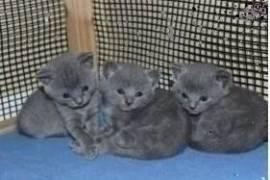 Adorable chatons Chartreux, Votre ville
