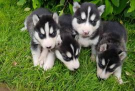 Disponible Chiot Husky Sibérien, Cornwall