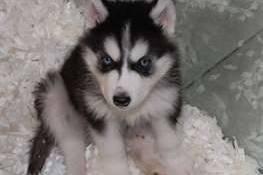 très joli chiot husky de sibérie, Votre ville
