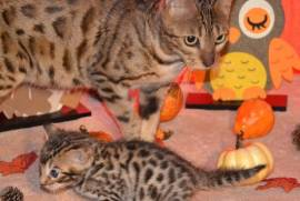 Beaux chatons bengal, Montreal
